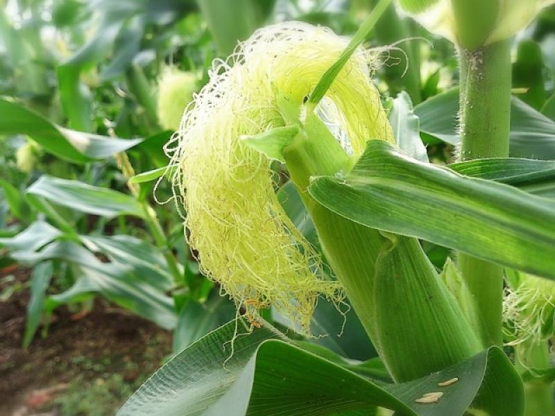 Sweet corn - Crops - Overview - 2nd picture/image