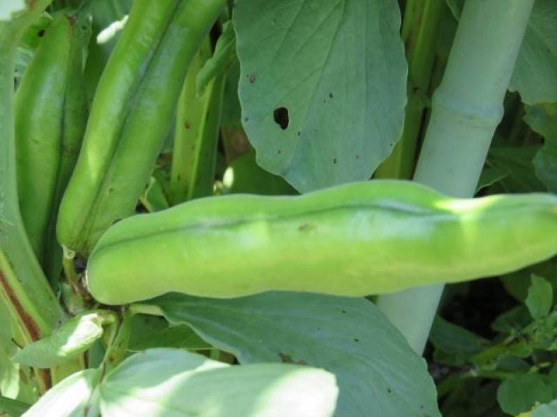 Ama ekubo - Broad bean's Cultivars/Varieties - 2nd picture/image