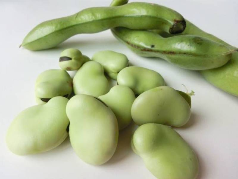 Broad bean(Fava bean) - Crops - Agriculture - 1st picture/image