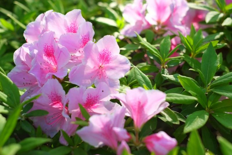 Seedling of azalea - Crops - Agriculture - 1st picture/image