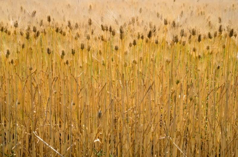 Wheat and barley - Crops - Overview - 2nd picture/image