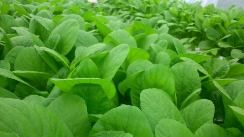 non-heading brassicaceae leafy-vegetable - Crops - Agriculture - 1st picture/image