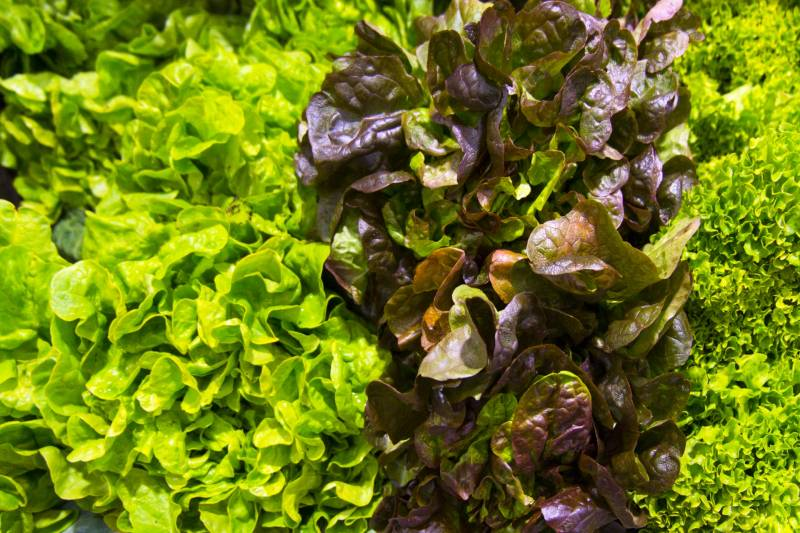 Pleat lettuce - Crops - Overview - 1st picture/image