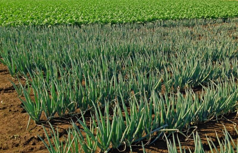 Welsh onion - Crops - Overview - 2nd picture/image