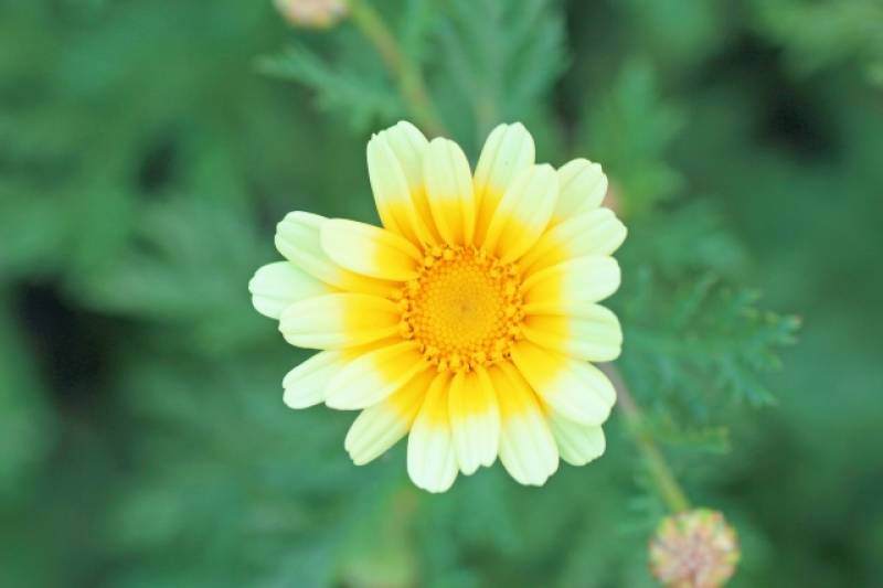 Crowndaisy(Garland chrysanthemum, Mum) - Crops - Overview - 2nd picture/image