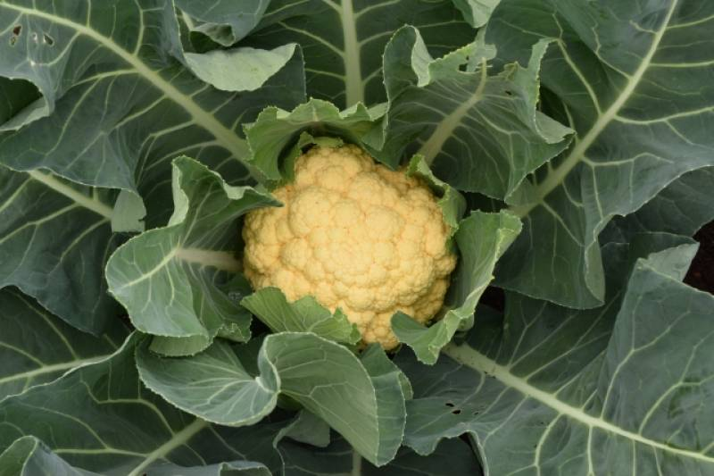 Cauliflower - Crops - Overview - 2nd picture/image