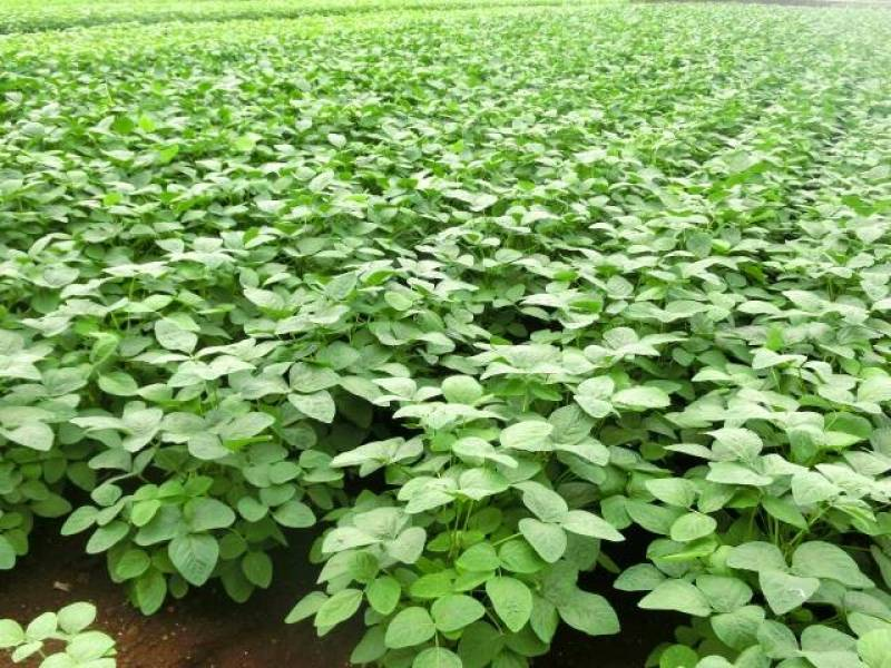 Edatsuki edamame - Green soybean's Cultivars/Varieties - 2nd picture/image