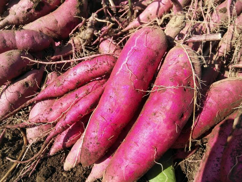 Sweet potato(rhizomes) - Crops - Agriculture - 1st picture/image