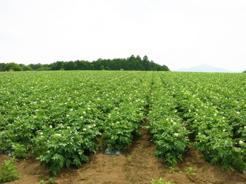 Potato - Crops - Overview - 2nd picture/image