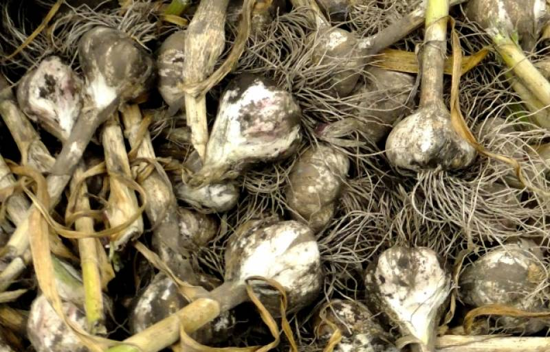 Garlic - Crops - Overview - 2nd picture/image