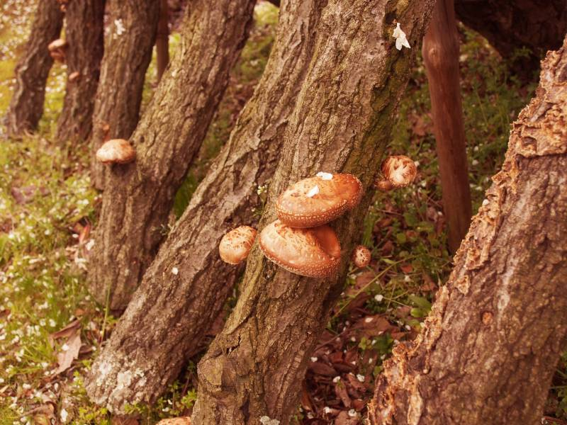 Shiitake mushroom - Crops - Overview - 2nd picture/image