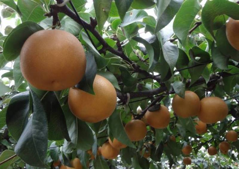 Japanese pear - Crops - Overview - 2nd picture/image