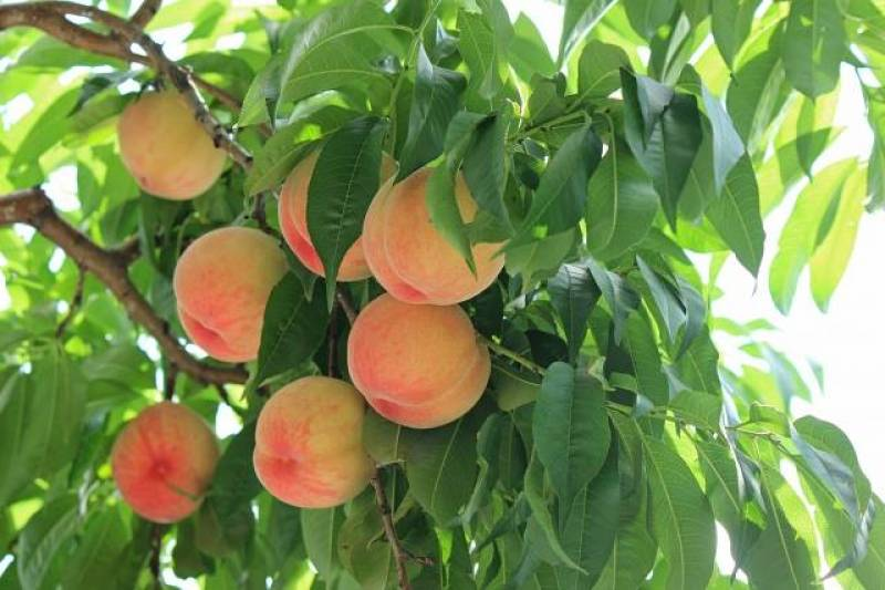 Peach - Crops - Overview - 2nd picture/image