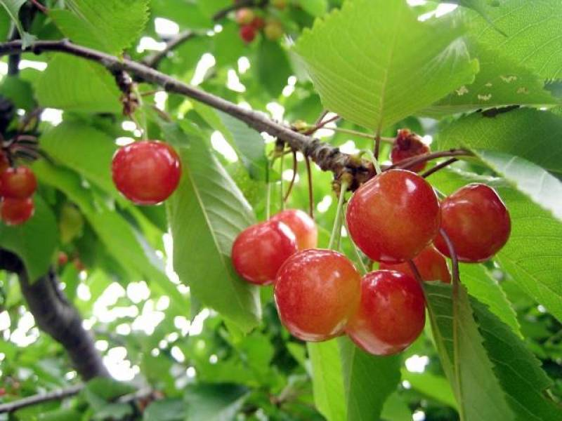 Mito outou - Cherry's Cultivars/Varieties - 2nd picture/image