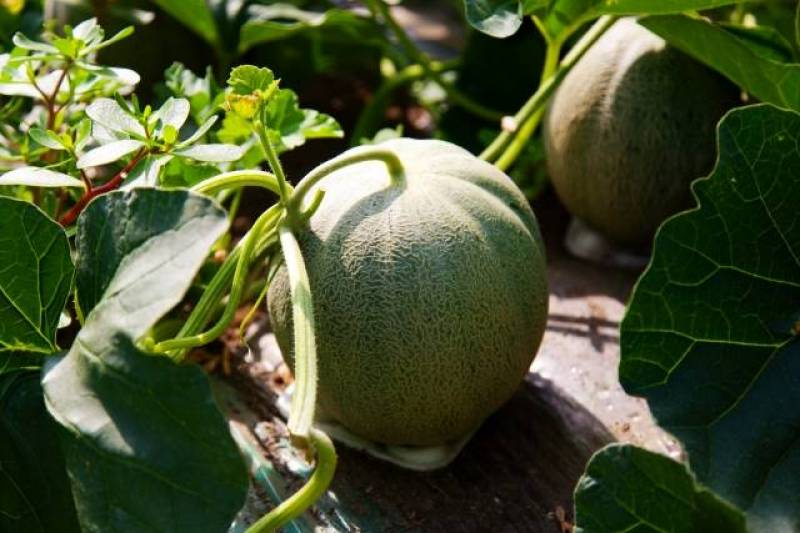 Melon - Crops - Overview - 2nd picture/image