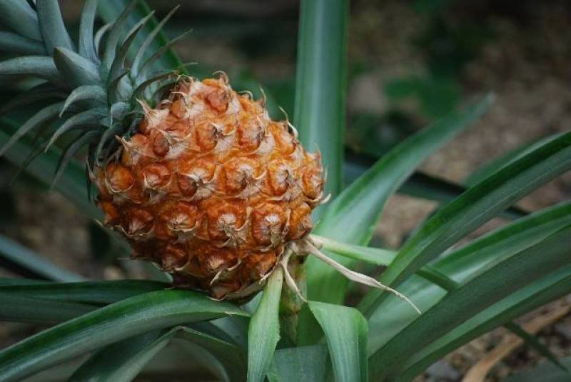 Pineapple - Crops - Overview - 2nd picture/image