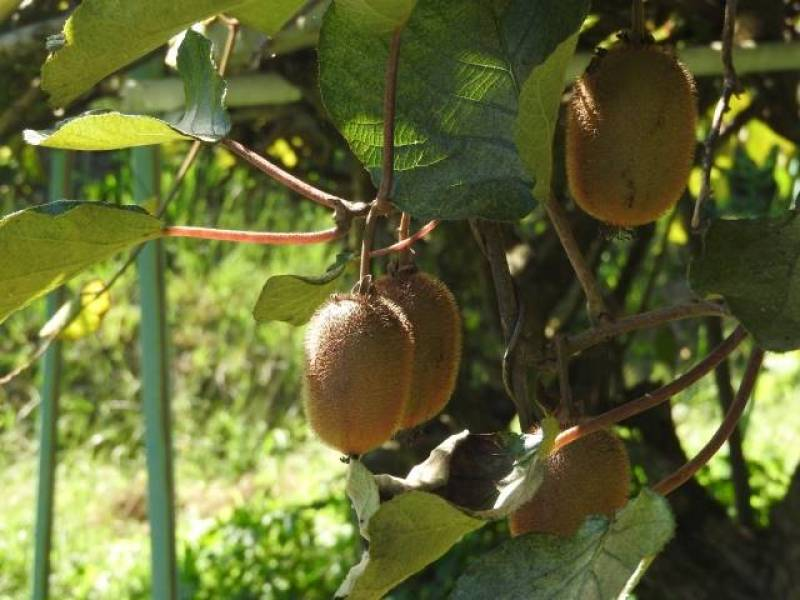 Bruno kiwi - Kiwifruit's Cultivars/Varieties - 2nd picture/image