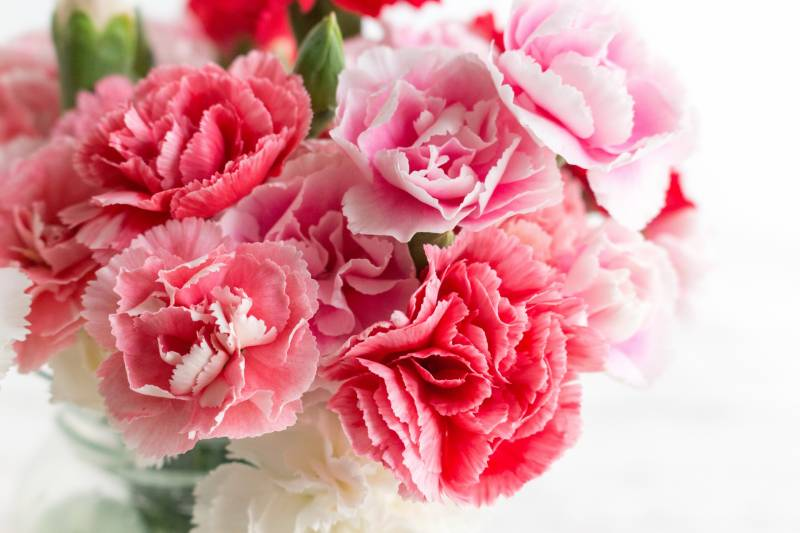 Carnation - Crops - Agriculture - 1st picture/image