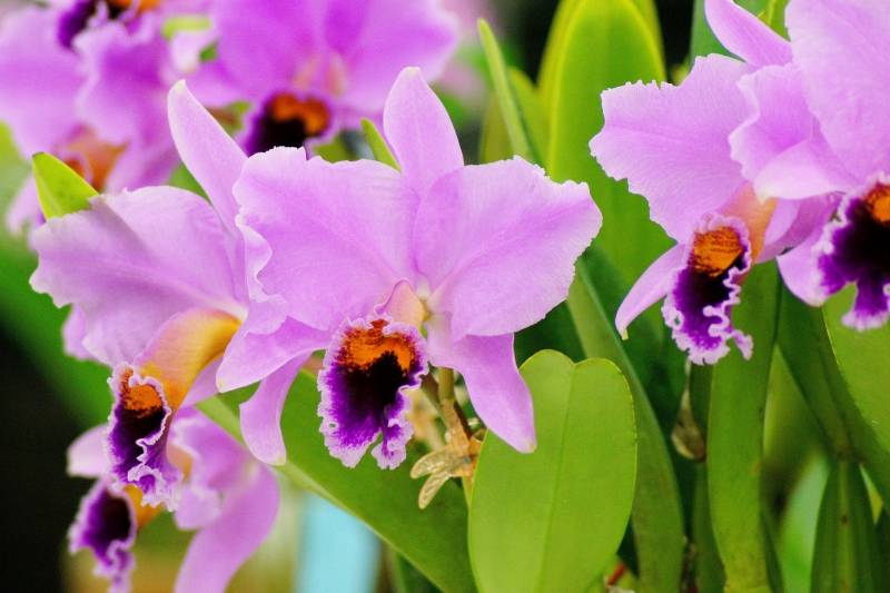Orchid(Cut-flower) - Crops - Overview - 2nd picture/image
