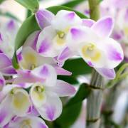 Orchid(Cut-flower) - Districts / Prefectures -  - 1st picture/image