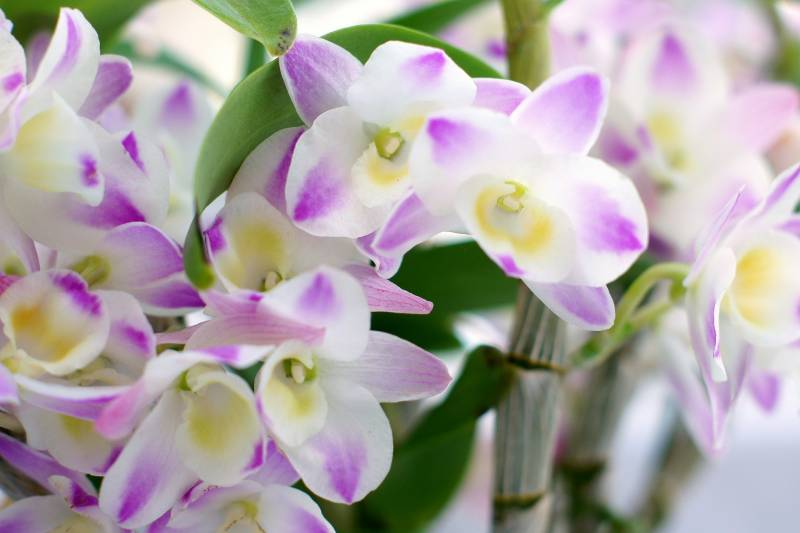 Orchid(Cut-flower) - Crops - Districts / Prefectures - 1st picture/image