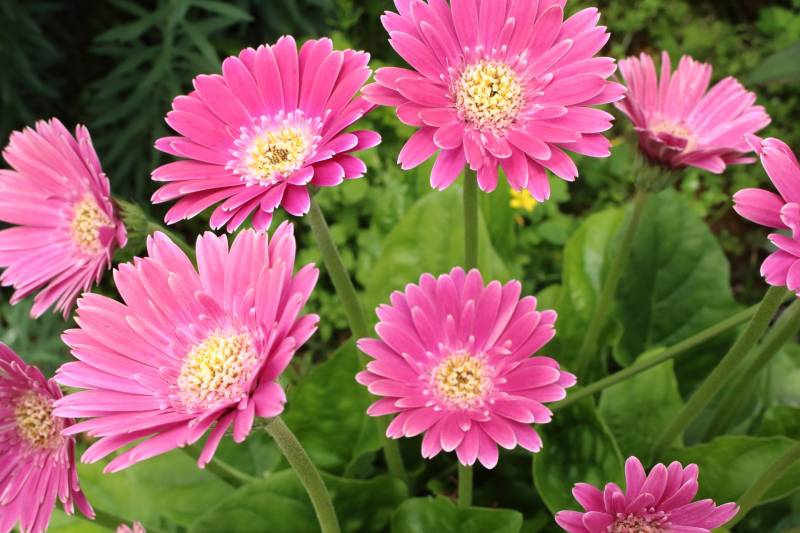 Gerbera - Crops - Districts / Prefectures - 1st picture/image