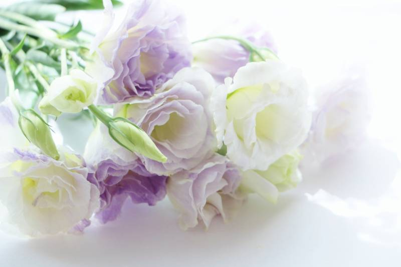Eustoma - Crops - Overview - 2nd picture/image