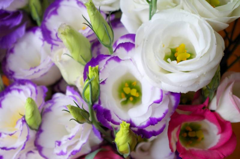 Eustoma - Crops - Notice / Blog - 1st picture/image