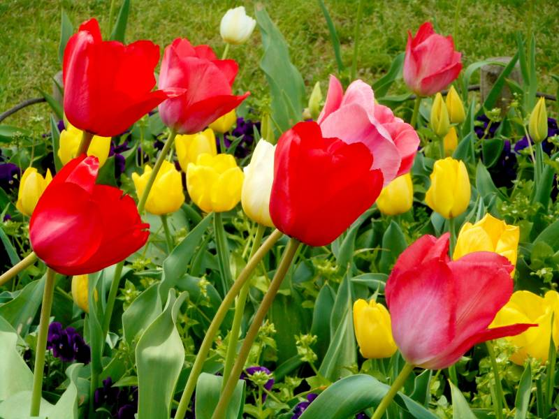 Tulip(Cut-flower) - Crops - Agriculture - 1st picture/image