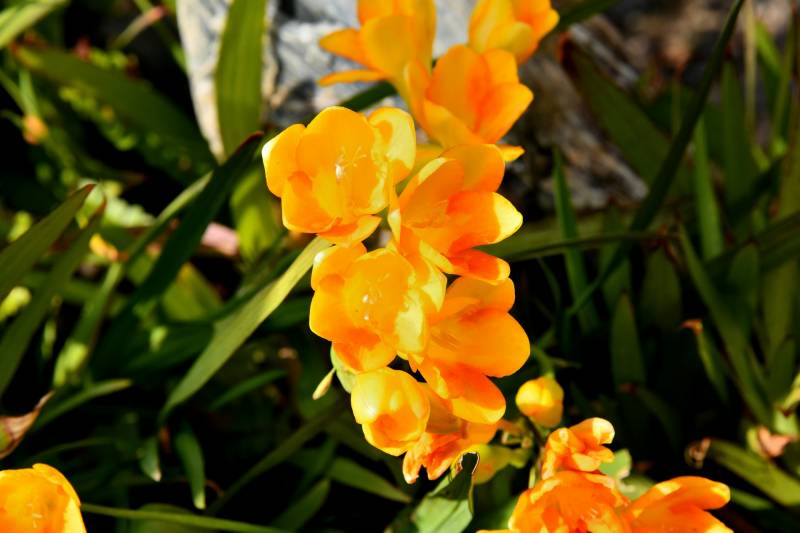 Freesia(Bulb) - Crops - Agriculture - 1st picture/image