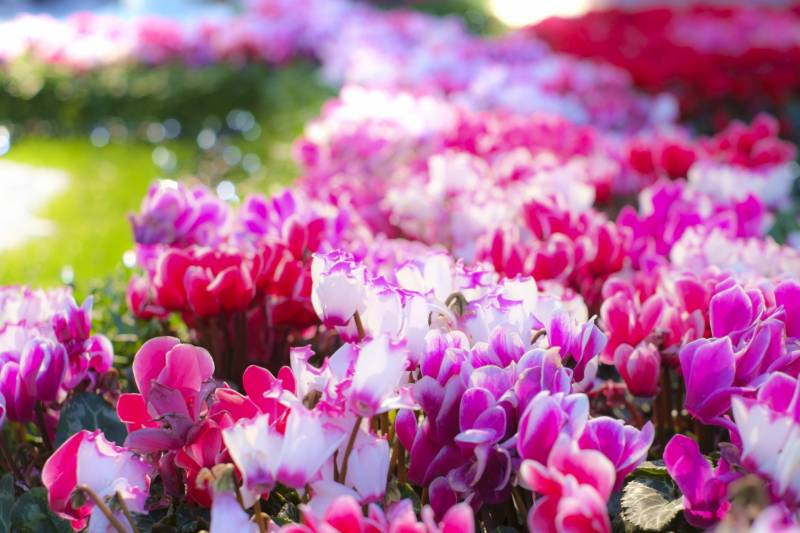 Cyclamen - Crops - Overview - 2nd picture/image