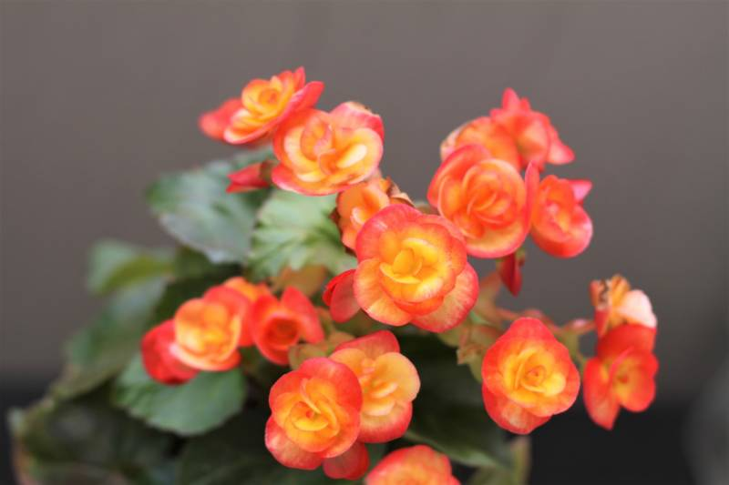 Begonia - Crops - Overview - 2nd picture/image