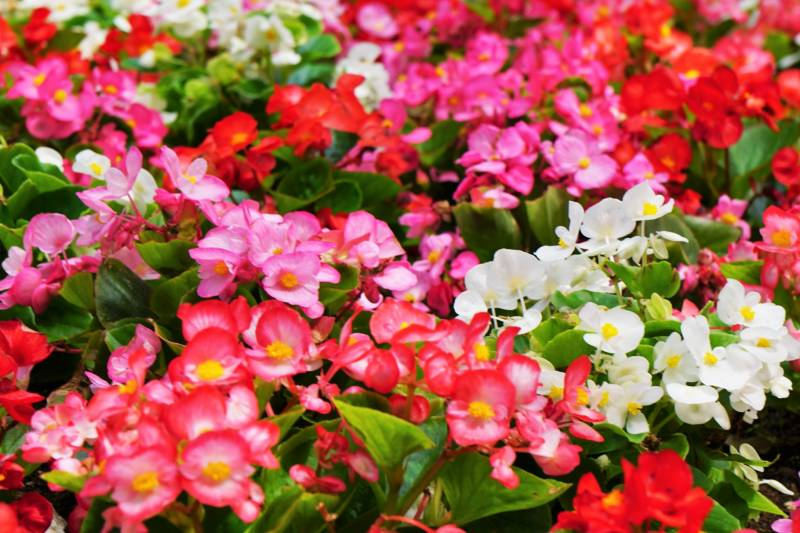 Begonia - Crops - Agriculture - 1st picture/image