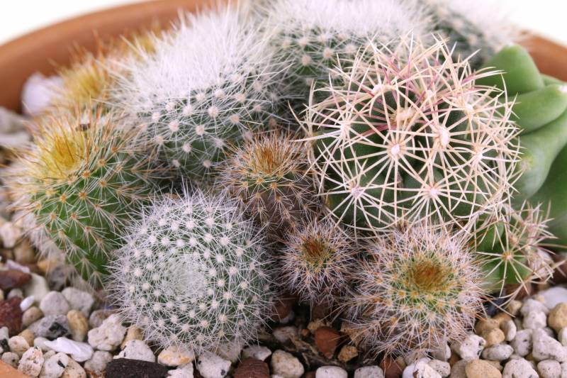 Cactus & Succulent - Crops - Agriculture - 1st picture/image