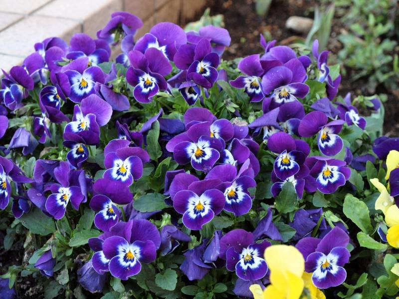 Pansy - Crops - Districts / Prefectures - 1st picture/image