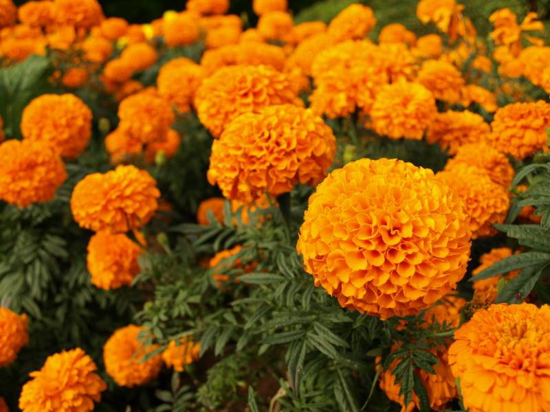 Marigold - Crops - Agriculture - 1st picture/image