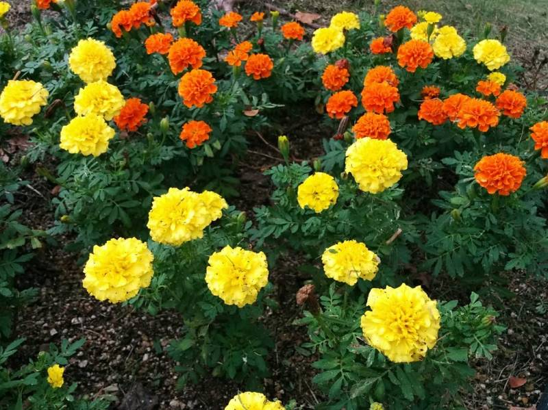 Marigold - Crops - Overview - 2nd picture/image
