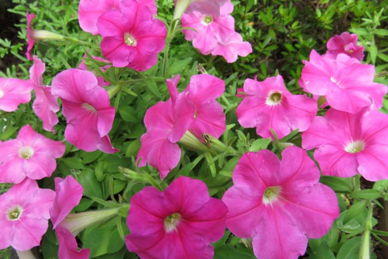 Petunia - Crops - Products - 1st picture/image