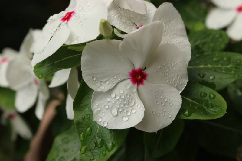 Catharanthus roseus - Crops - Agriculture - 1st picture/image