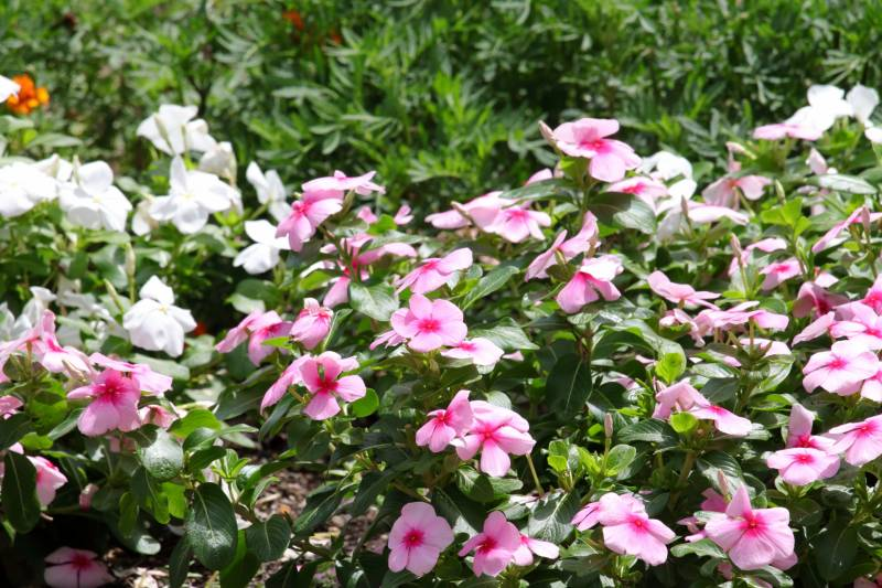 Catharanthus roseus - Crops - Overview - 2nd picture/image