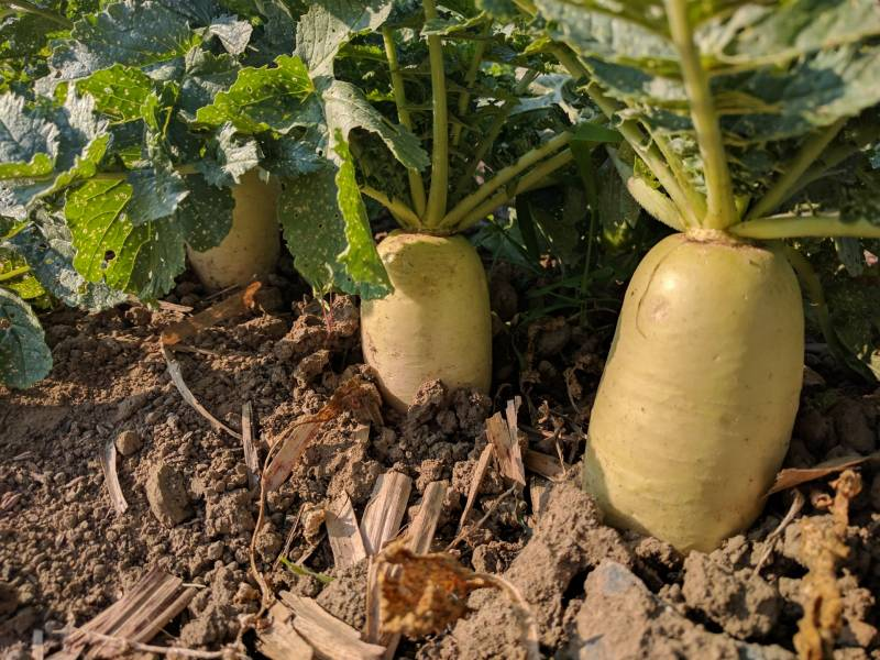 Autumn winter daikon - Crops - Overview - 1st picture/image