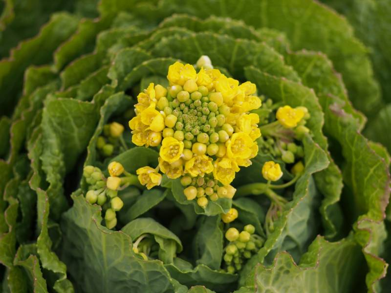 Spring hakusai - Chinese cabbage's Cultivars/Varieties - 2nd picture/image