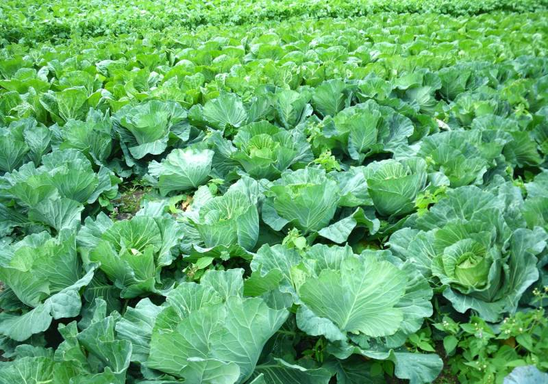 Summer autumn cabbage - Crops - Overview - 1st picture/image