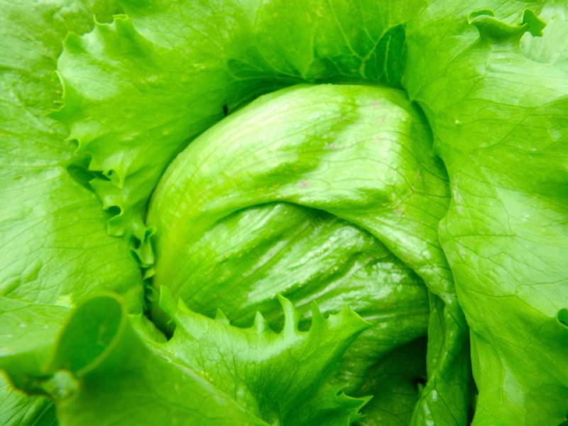 Winter lettuce - Crops - Overview - 1st picture/image