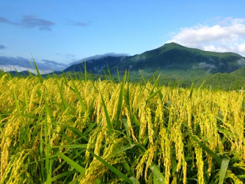 Niigata-ken - Districts / Prefectures - Rice-producing region - biggest and delicious rice producing area - 1st picture/image