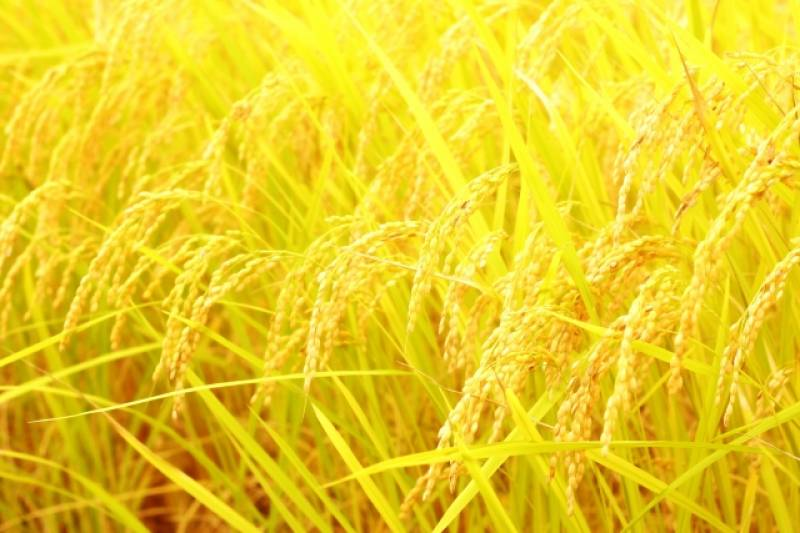 Rice 10 kg (Sample) - 2nd picture/image - promote Japanese crop and agriculture [JapanCROPs]